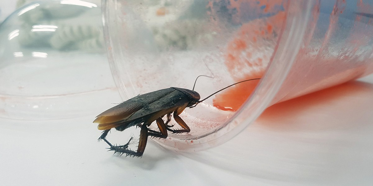 Pest - Cockroach