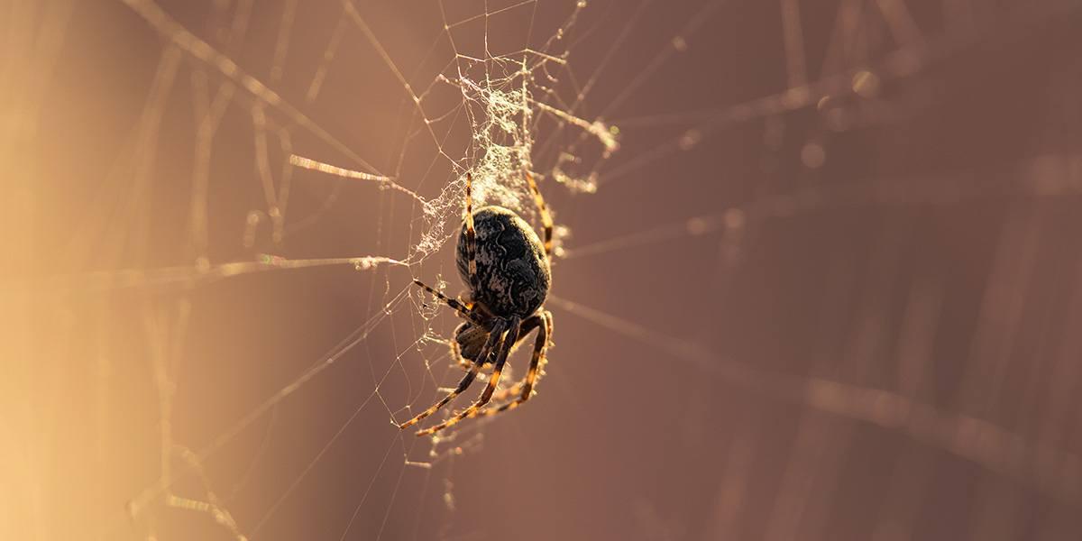 Pest - Spider