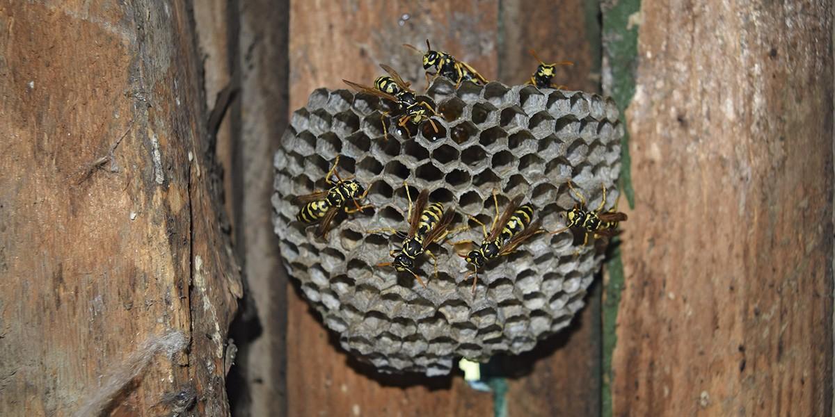 Pest - Stinging