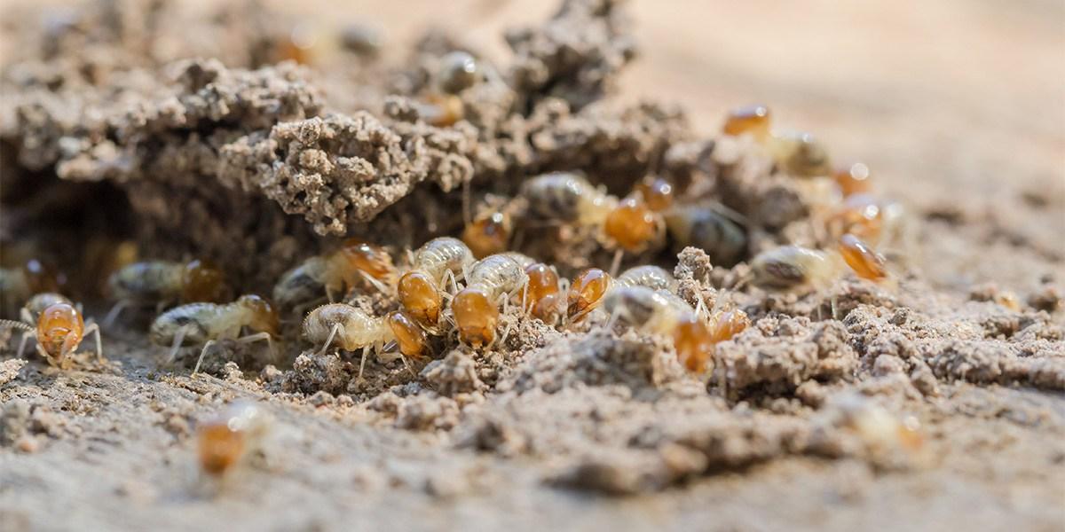 Pest - Termite